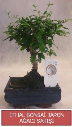 İthal küçük boy minyatür bonsai ağaç bitkisi  Elazığ çiçek servisi , çiçekçi adresleri
