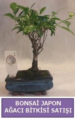 İthal Bonsai japon ağacı bitkisi satışı  Elazığ 14 şubat sevgililer günü çiçek