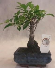 Bonsai ağacı japon ağaç bitkisi  Elazığ hediye sevgilime hediye çiçek