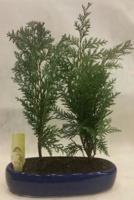 SINIRLI SAYIDA Selvi Ağacı bonsai ikili  Elazığ çiçek servisi , çiçekçi adresleri