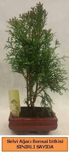 Selvi ağacı bonsai japon ağacı bitkisi  Elazığ çiçek mağazası , çiçekçi adresleri