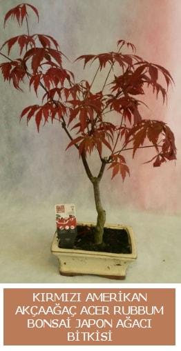 Amerikan akçaağaç Acer Rubrum bonsai  Elazığ ucuz çiçek gönder