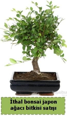 İthal bonsai saksı çiçeği Japon ağacı satışı  Elazığ 14 şubat sevgililer günü çiçek