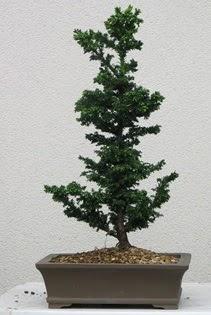 Çam ağacı bonsai bitkisi satışı  Elazığ çiçek servisi , çiçekçi adresleri