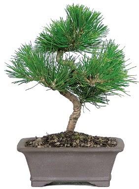 Çam ağacı bonsai japon ağacı bitkisi  Elazığ çiçek online çiçek siparişi