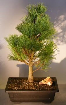 Çam ağacı japon ağacı bitkisi bonsai  Elazığ çiçek servisi , çiçekçi adresleri