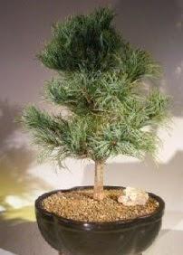 Çam ağacı bonsai bitkisi satışı  Elazığ güvenli kaliteli hızlı çiçek