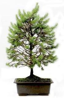 *** STOKTA YOK - Çam ağacı bonsai bitkisi satışı  Elazığ çiçek , çiçekçi , çiçekçilik