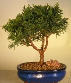 Servi çam bonsai japon ağacı bitkisi  Elazığ hediye sevgilime hediye çiçek