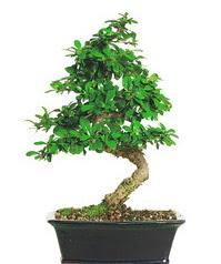 Bonsai bitkisi satışı  Elazığ çiçek servisi , çiçekçi adresleri