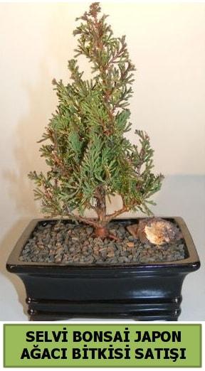 Selvi çam japon ağacı bitkisi bonsai  Elazığ çiçek servisi , çiçekçi adresleri