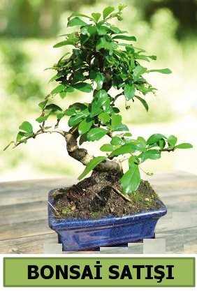 Çam bonsai japon ağacı satışı  Elazığ çiçek mağazası , çiçekçi adresleri