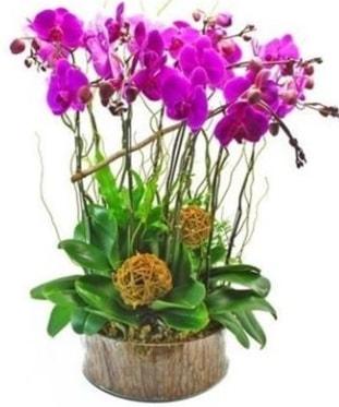 Ahşap kütükte lila mor orkide 8 li  Elazığ İnternetten çiçek siparişi