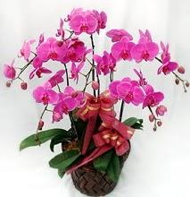 Sepet içerisinde 5 dallı lila orkide  Elazığ güvenli kaliteli hızlı çiçek