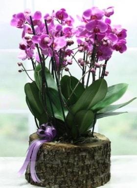 Kütük içerisinde 6 dallı mor orkide  Elazığ güvenli kaliteli hızlı çiçek