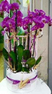 Seramik vazoda 4 dallı mor lila orkide  Elazığ çiçekçi telefonları