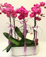 Beyaz seramik içerisinde 4 dallı orkide  Elazığ güvenli kaliteli hızlı çiçek