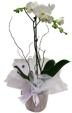 Tek dallı beyaz orkide  Elazığ çiçek satışı
