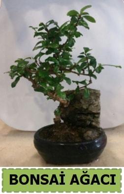 Bonsai ağacı japon ağacı satışı  Elazığ yurtiçi ve yurtdışı çiçek siparişi