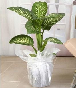 Tropik saksı çiçeği bitkisi  Elazığ çiçek mağazası , çiçekçi adresleri