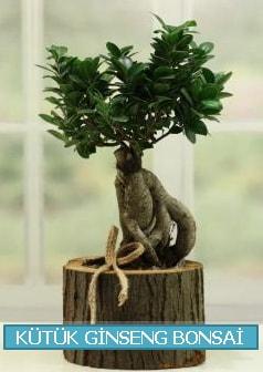 Kütük ağaç içerisinde ginseng bonsai  Elazığ anneler günü çiçek yolla