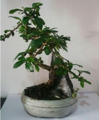 S şeklinde ithal bonsai ağacı  Elazığ hediye sevgilime hediye çiçek