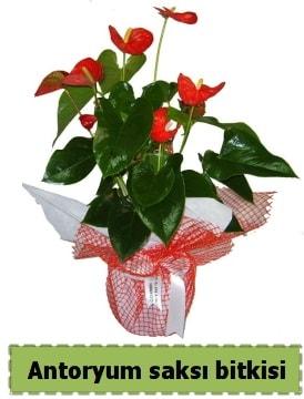 Antoryum saksı bitkisi satışı  Elazığ kaliteli taze ve ucuz çiçekler