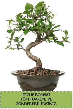 Ficus bonsai  Elazığ anneler günü çiçek yolla
