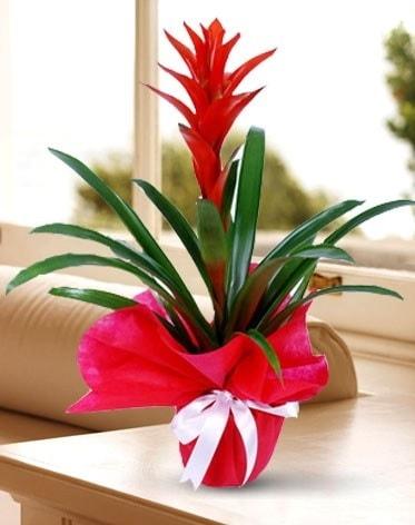 Guzmanya Saksı Çiçeği  Elazığ hediye sevgilime hediye çiçek