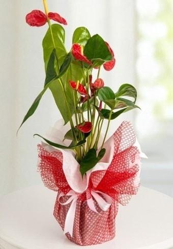 Anthurium Saksı Çiçeği  Elazığ yurtiçi ve yurtdışı çiçek siparişi