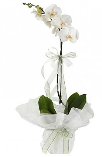 Tekli Beyaz Orkide  Elazığ yurtiçi ve yurtdışı çiçek siparişi