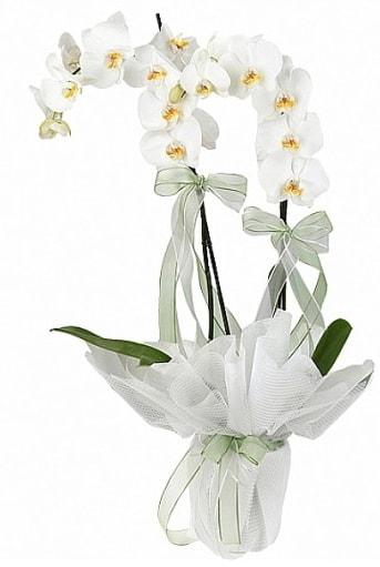 Çift Dallı Beyaz Orkide  Elazığ çiçekçi mağazası