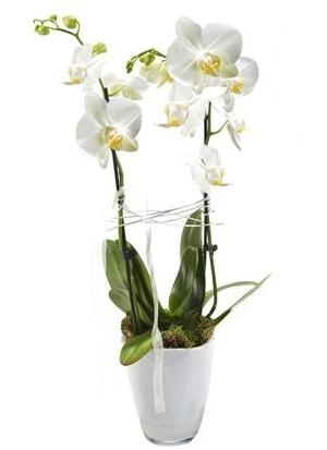 2 dallı beyaz seramik beyaz orkide saksısı  Elazığ anneler günü çiçek yolla