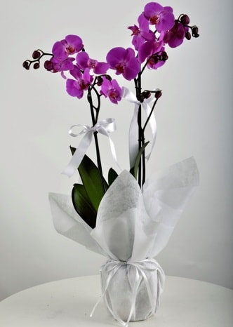 Çift dallı saksıda mor orkide çiçeği  Elazığ çiçek gönderme