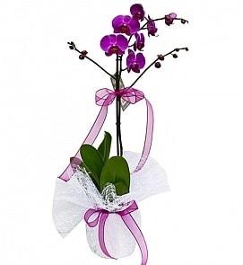 Tek dallı saksıda ithal mor orkide çiçeği  Elazığ çiçek gönderme sitemiz güvenlidir