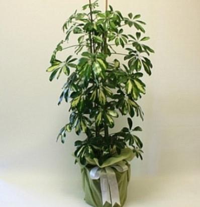 Şeflera salon bitkisi  Elazığ çiçek online çiçek siparişi