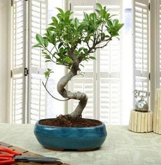 Amazing Bonsai Ficus S İthal  Elazığ çiçek yolla