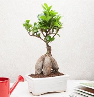 Exotic Ficus Bonsai ginseng  Elazığ çiçekçiler