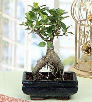 Appealing Ficus Ginseng Bonsai  Elazığ çiçekçi mağazası