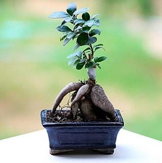 Marvellous Ficus Microcarpa ginseng bonsai  Elazığ çiçek gönderme