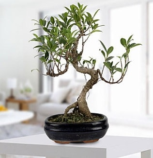Gorgeous Ficus S shaped japon bonsai  Elazığ cicek , cicekci