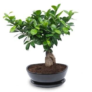 Ginseng bonsai ağacı özel ithal ürün  Elazığ İnternetten çiçek siparişi