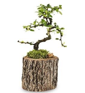 Doğal kütükte S bonsai ağacı  Elazığ çiçek mağazası , çiçekçi adresleri