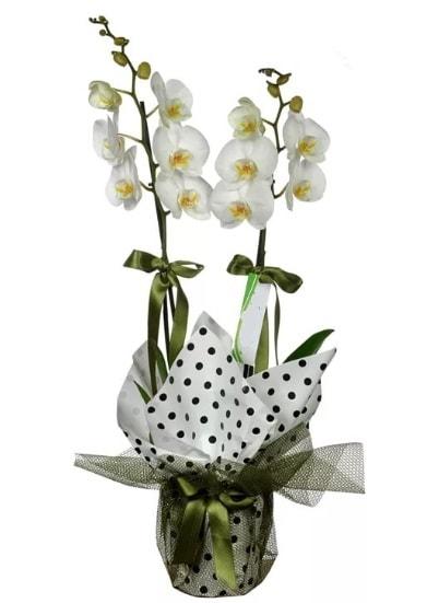 Çift Dallı Beyaz Orkide  Elazığ hediye çiçek yolla