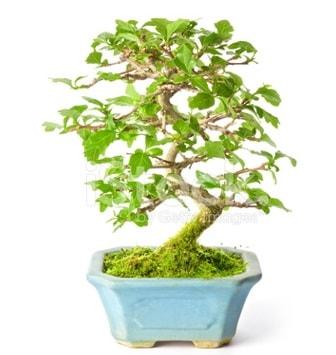 S zerkova bonsai kısa süreliğine  Elazığ 14 şubat sevgililer günü çiçek