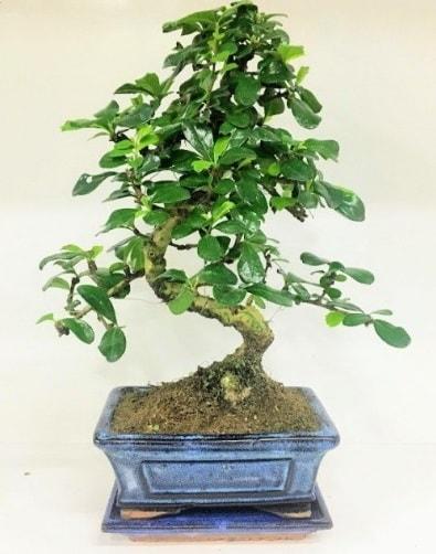 S Bonsai japon ağacı bitkisi  Elazığ ucuz çiçek gönder
