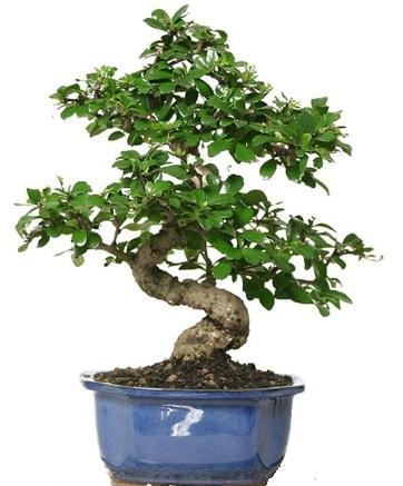 21 ile 25 cm arası özel S bonsai japon ağacı  Elazığ çiçek servisi , çiçekçi adresleri