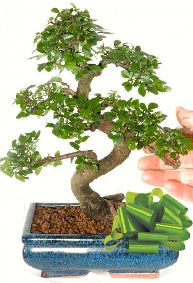 Yaklaşık 25 cm boyutlarında S bonsai  Elazığ çiçek yolla , çiçek gönder , çiçekçi