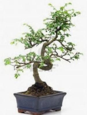 S gövde bonsai minyatür ağaç japon ağacı  Elazığ çiçek mağazası , çiçekçi adresleri