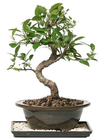 Altın kalite Ficus S bonsai  Elazığ çiçek servisi , çiçekçi adresleri  Süper Kalite